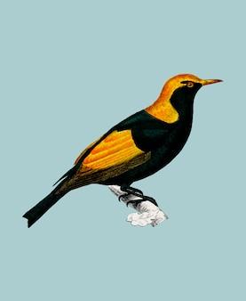 Regent bowerbird (sericulus chrysocephalus) von charles dessalines d'orbigny (1806-1876).