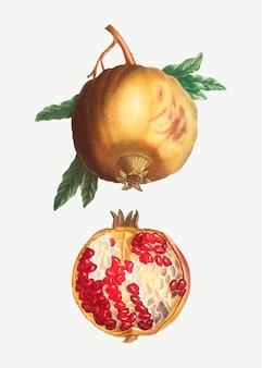 Reife granatapfelfrucht