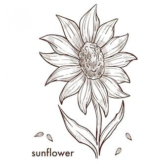Reife sonnenblume mit großer blüten- und samenskizze