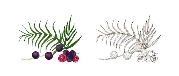 Reihe von bunten und monochromen zeichnungen von acai-beeren und palmblättern. superfood-produkt, nahrungsergänzungsmittel handgezeichnet auf weißem hintergrund. elegante realistische vektorillustration im vintage-stil.
