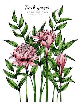 Rosa fackel ingwer blume und blatt zeichnung illustration mit strichzeichnungen auf weiß.