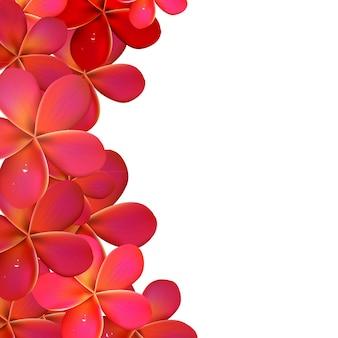 Rosa frangipani-rahmen, lokalisiert auf weißem hintergrund, illustration