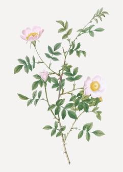 Rosa hecke in voller blüte