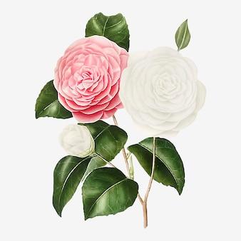 Rosa kamelie rose blume