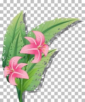 Rosa lilie auf transparentem hintergrund