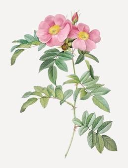 Rosa lucida zeichnung