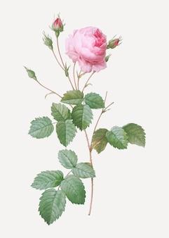 Rosa provence stieg