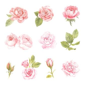 Rosa rosenaquarellsammlung