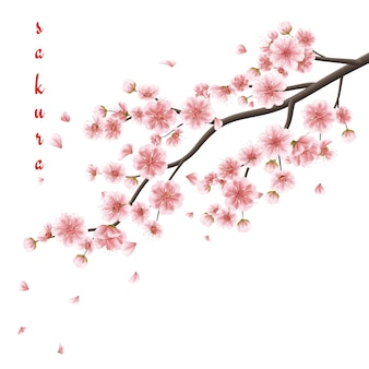 Rosa sakurablumen lokalisiert auf weiß.