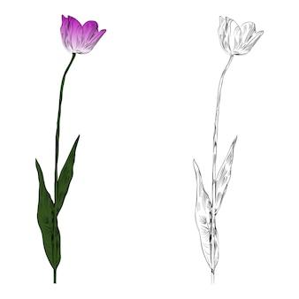Rosa und weiße tulpen