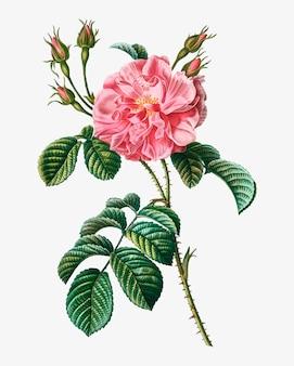 Rosa wilde rose