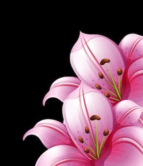 Rosafarbene lilienblumen auf schwarzem hintergrund