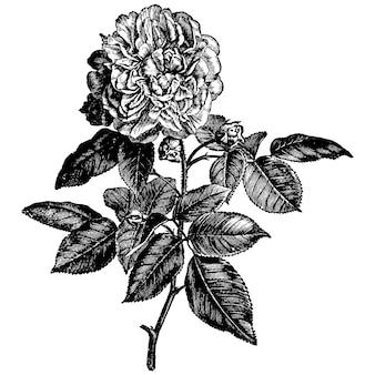 Rose blumen vintage illustrationen gravieren