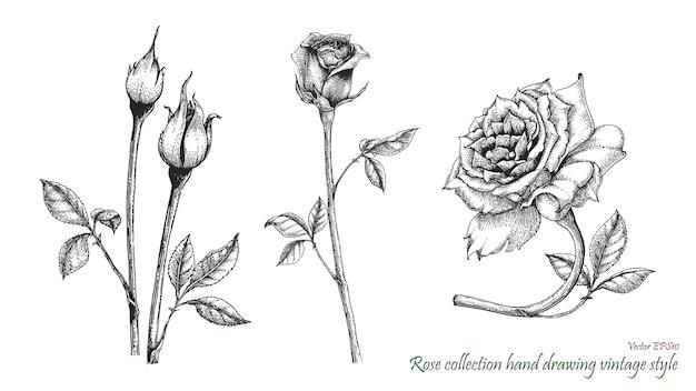 Rose handzeichnung gravurstil