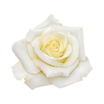 Rose mit weißen blütenblättern
