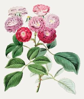 Rosen klettern