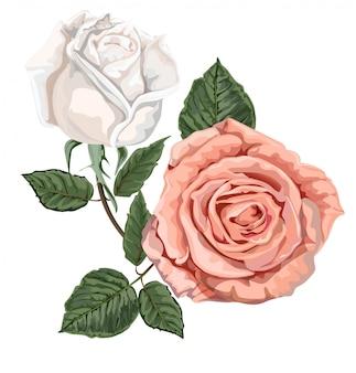 Rosen weiß und rosa farben