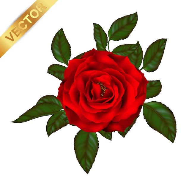 Rosenblüte der blühenden pflanze.