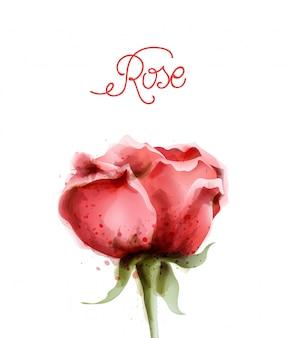 Rosenblüte in aquarell