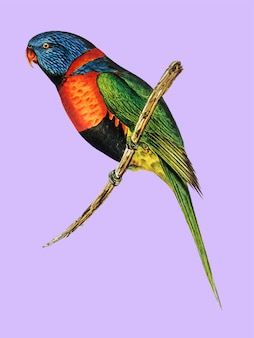 Rot-ergatterte lorikeet-illustration