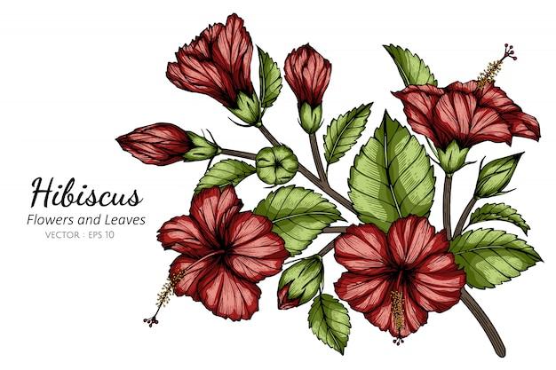 Rote hibiskusblumen- und blattzeichnungsillustration mit strichzeichnungen auf weiß.