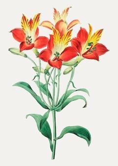Rote peruanische lilie