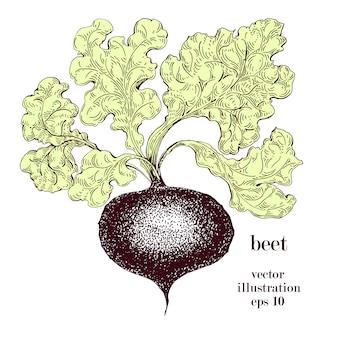 Rote rübe, gezeichnete vektorillustration der rote-bete-wurzeln hand. weinlese-gemüse gravierte artgegenstand. kann für menü, etikett, hofmarkt verwendet werden