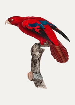 Roter lory