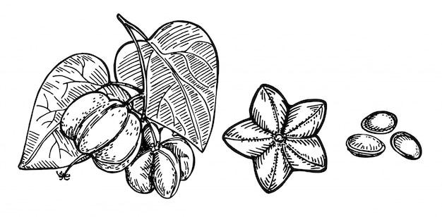 Sacha inchi pflanze und samen skizze. gravierte illustration. medizinische, kosmetische pflanze. sacha inchi ätherisches öl. kosmetik, medizin, behandlung, aromatherapie-paket hautpflege.