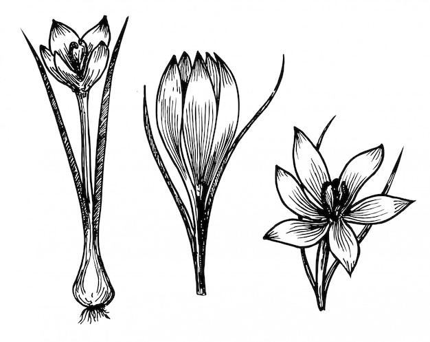 Safrankrokusblumen-skizzenzeichnung. hand gezeichnete kräuter- und lebensmittelgewürze. gravierter vintage-geschmack. botanische skizze des krokus. ideal für verpackung, etikett, symbol.