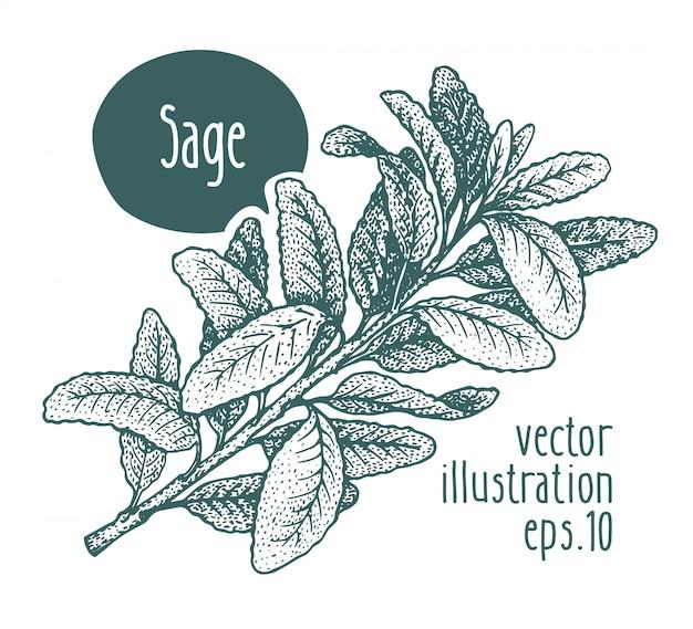 Sage zweig. vektor hand gezeichnete illustration.