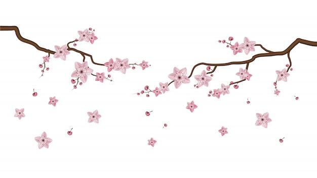Sakura-blüten blühen