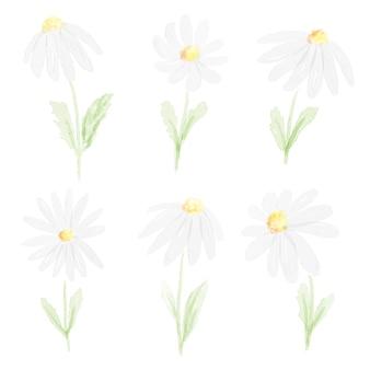 Sammlung des weißen gänseblümchens des aquarells lokalisiert