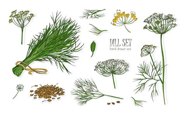 Sammlung eleganter zeichnungen der dillpflanze mit blumen, blättern und samen lokalisiert