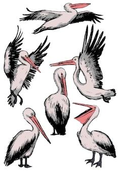 Sammlung pelikane getrennt auf weiß. realistische farbige skizzen tropischer vögel. satz von hand gezeichneten vektorillustrationen. vintage grafische elemente für design, dekor.