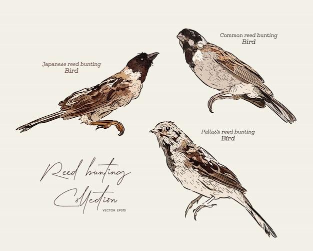 Sammlung von ammervögeln, handzeichenskizze.