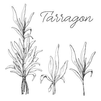 Sammlung von estragon isoliert auf weiß