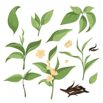 Sammlung von grünen teeblättern, blühenden zweigen, getrocknetem schwarzen tee. grafische elemente für etiketten, teeblätter