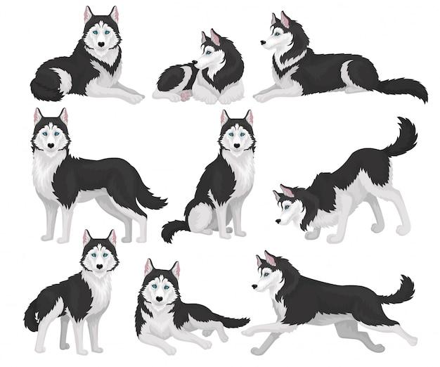 Sammlung von siberian husky in verschiedenen posen, weißes und schwarzes reinrassiges hundetier mit blauen augen illustration auf einem weißen hintergrund