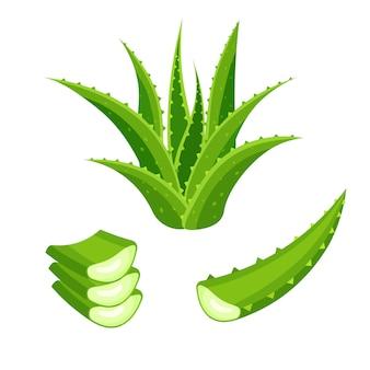 Satz aloe vera lokalisiert auf weißem hintergrund. grüne pflanze, blätter und geschnittene stücke. illustration in einem flachen trendigen stil.