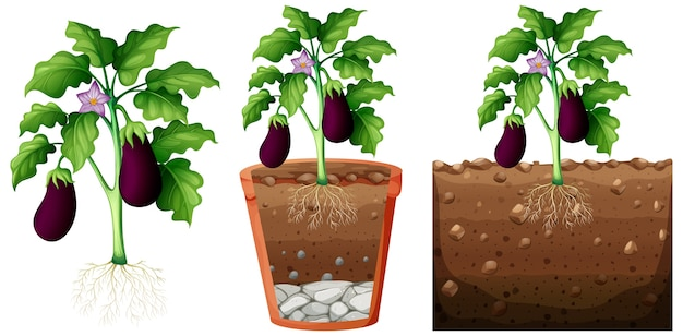 Satz auberginenpflanze mit wurzeln lokalisiert auf weißem hintergrund
