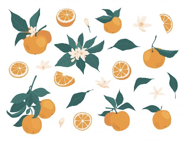 Satz ganze orangen auf einer niederlassung mit blättern und stücken, blumen lokalisiert auf einem weiß in einer flachen art. abbildung auf lager
