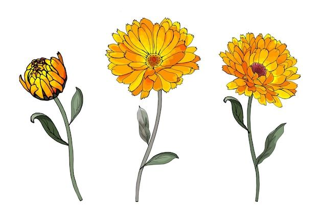 Satz gelbe ringelblumenblüten auf einem stiel mit grünen blättern. Premium Vektoren
