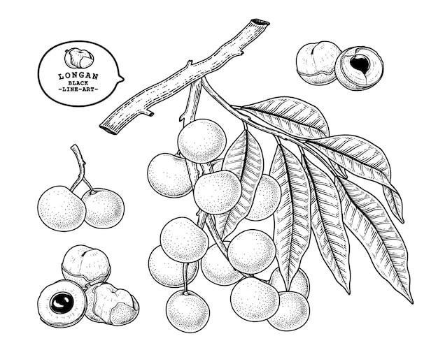 Satz gezeichnete elemente der botanischen illustration der dimocarpus longan fruchthand
