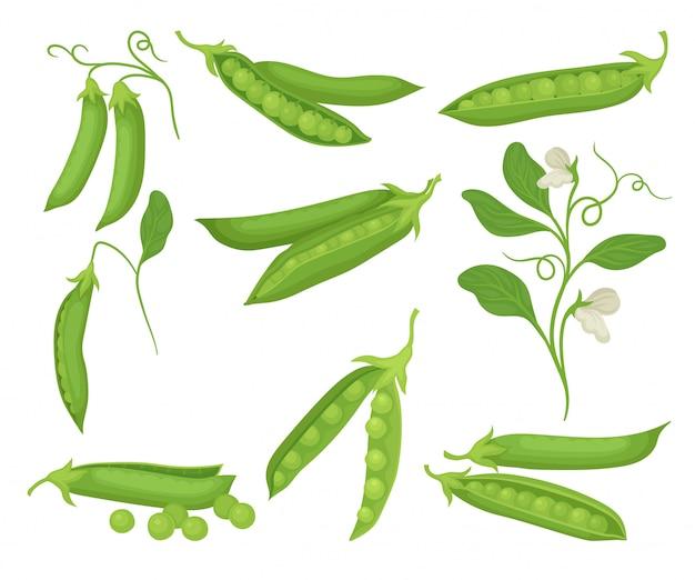 Satz grüne erbsen mit schoten. natürliches und gesundes essen. landwirtschaftliche pflanze mit blumen. bio-gemüse