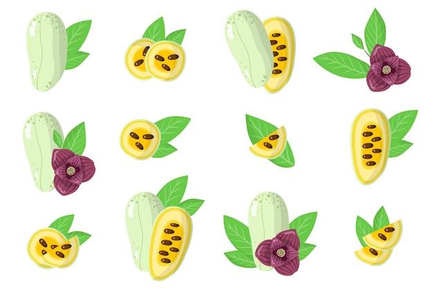 Satz illustrationen mit exotischen früchten, blumen und blättern asimina lokalisiert auf einem weißen hintergrund. isolierte symbole festgelegt.