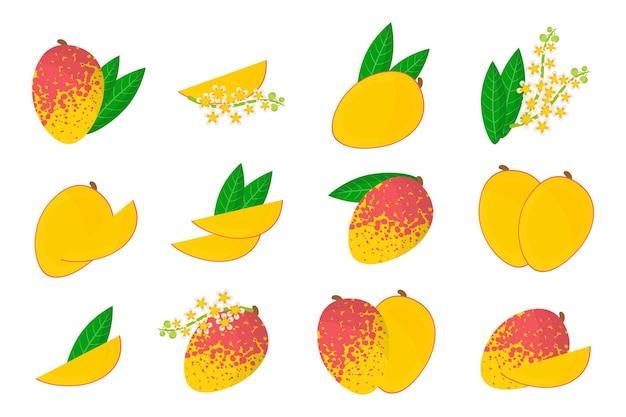 Satz illustrationen mit exotischen früchten, blumen und blättern der mango lokalisiert auf einem weißen hintergrund.