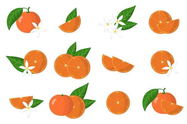 Satz illustrationen mit exotischen zitrusfrüchten, blumen und blättern der clementine lokalisiert auf einem weißen hintergrund.