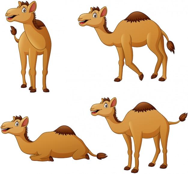 Satz kamelkarikaturfigur. illustration