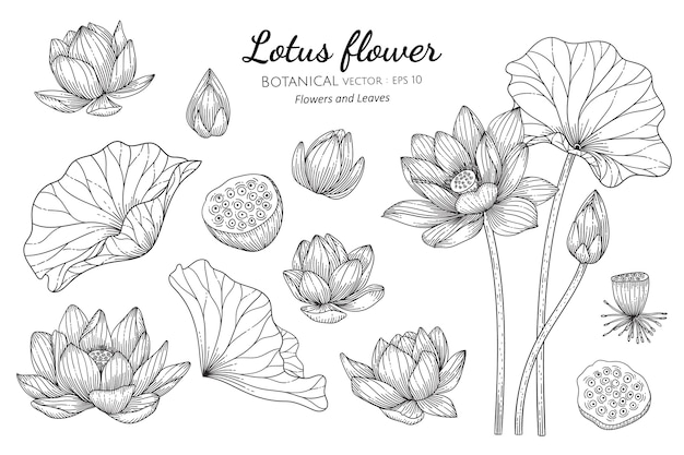 Satz lotusblume und -blatt in der hand gezeichneten botanischen illustration